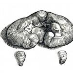 1543--Vesalio-24