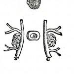 1543--Vesalio-30