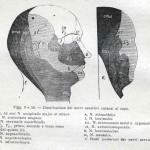 1914-Strumpell--010