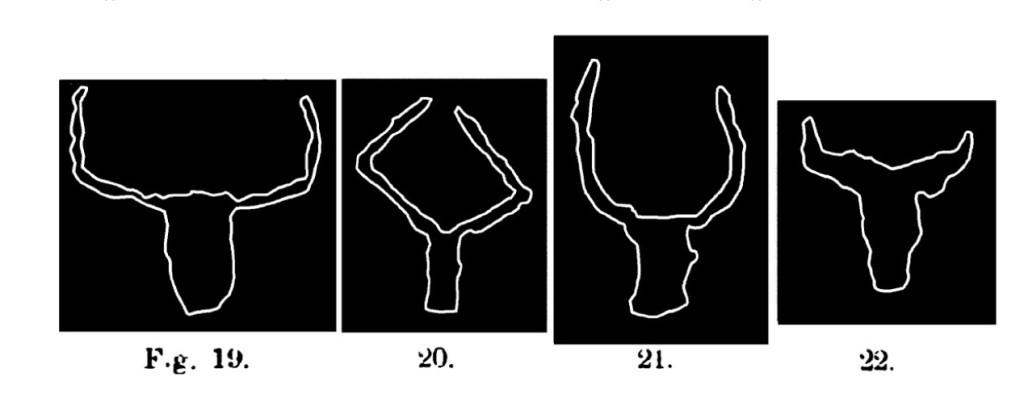 Fig. 19 e 20. Teste bovine. Val d'Inferno.Assai ridotte (Bicknell). Fig. 21 e 22. Teste bovine. Val d'Inferno. Assai ridotte (Clugnet).