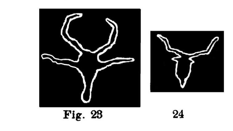 Fug. 23 e 24. Teste bovine orecchiute. Fontanalba. Assai ridotte (Bicknell).
